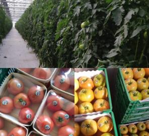 tomates-artabia